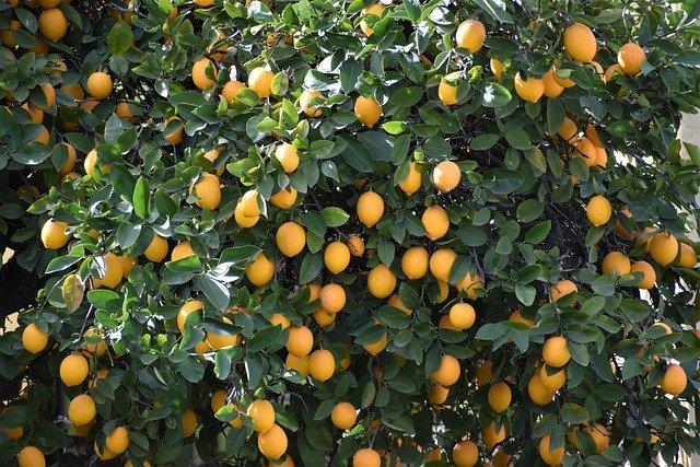 Lemon is an Immunity Boosting Fruit