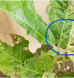 What are White Mealybugs?