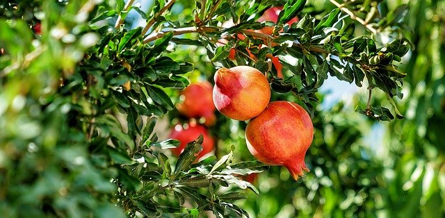 Pomegranate is an Immunity Boosting Fruit